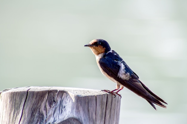 Primo piano del sorso di uccello pacifico (hirundo tahitica) isolato nel blu del mare in asia meridionale tropicale