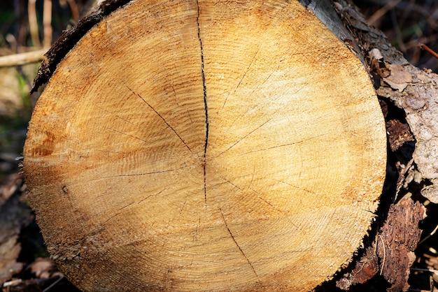 Primo piano del tronco di albero tagliato con i dettagli dell'anello annuale sulla superficie nella foresta del pino.