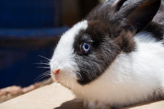 Primo piano del volto di un coniglio di campo, bianco e nero con gli occhi azzurri. illuminato dalla luce solare.