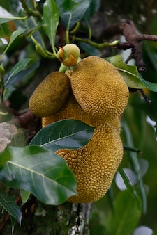 Primo piano dell'albero della giaca con i frutti maturi