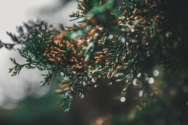 Primo piano dell'albero di pino