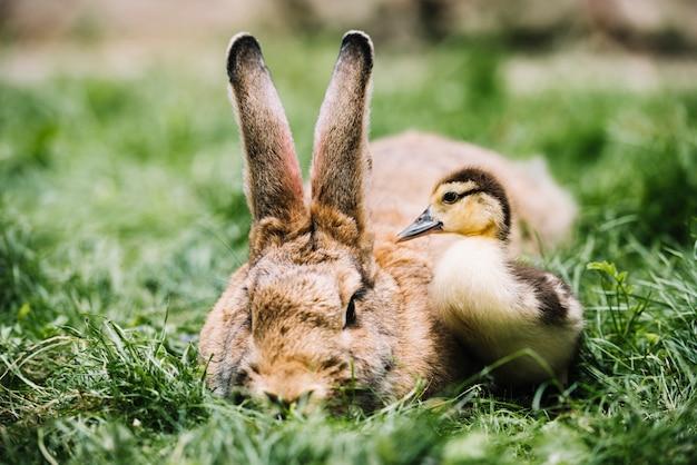 Primo piano dell'anatroccolo del germano reale vicino al coniglio su erba verde