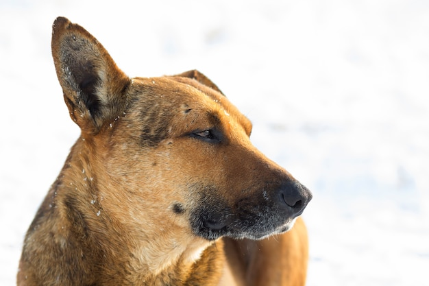 Primo piano dell'animale domestico del cane giallo su neve bianca all'aperto