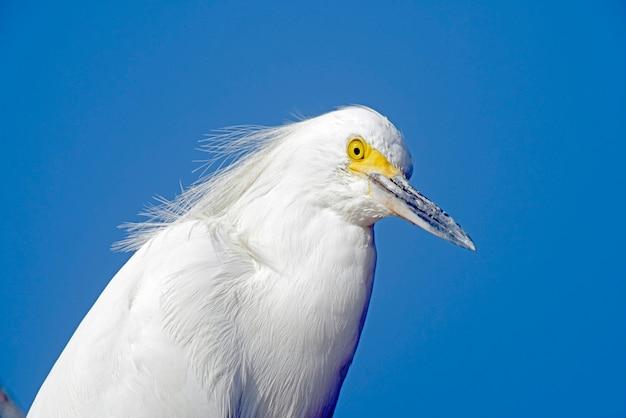 Primo piano dell'egretta nevosa sopra cielo blu