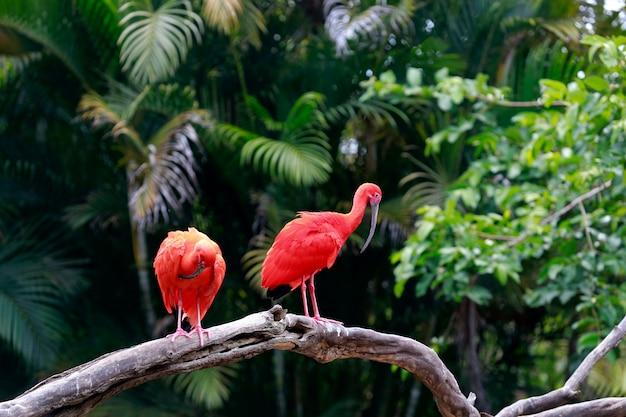Primo piano dell'ibis scarlatto sul tronco di albero