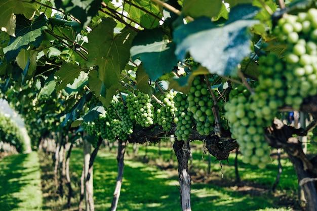 Primo piano dell'uva verde in una vigna sotto luce solare con un confuso