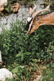 Primo piano della capra che mangia le foglie della pianta