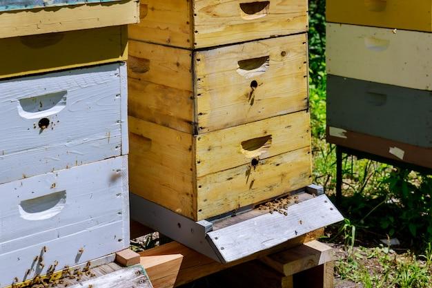 Primo piano della colonia di api che lavora al fuoco selettivo dell'alveare delle api.