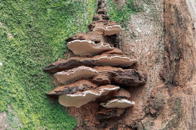 Primo piano della comune staffa perenne fungo sulla corteccia di albero ricoperta di muschi