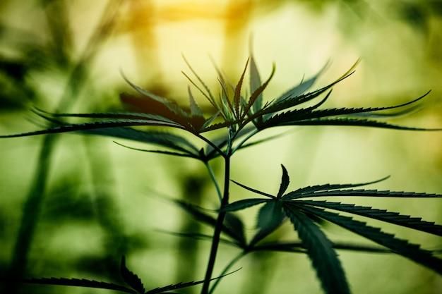 Primo piano della foglia della marijuana della cannabis