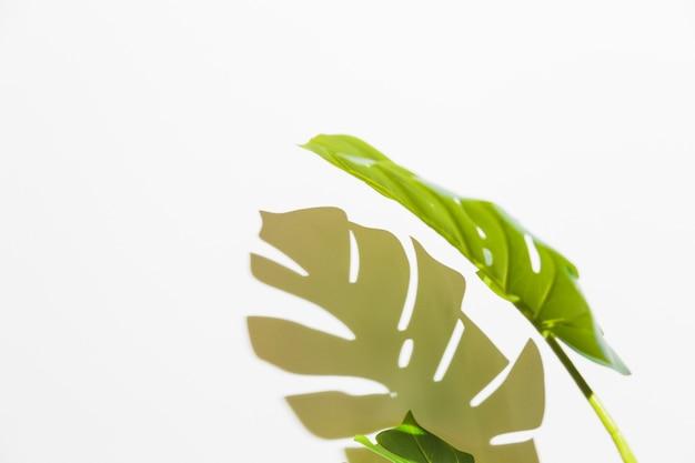 Primo piano della foglia verde di monstera con ombra sul contesto bianco
