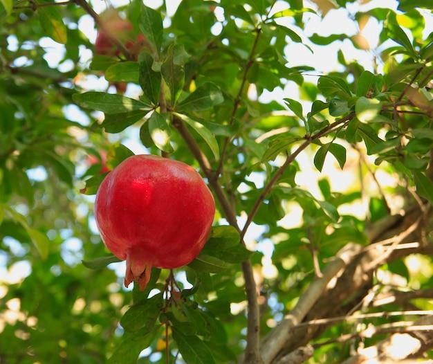 Primo piano della frutta rossa matura del melograno sull'albero di melograno