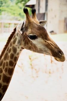 Primo piano della giraffa allo zoo