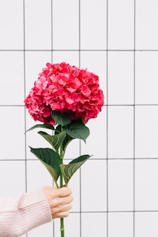 Primo piano della mano che tiene un grande fiore di ortensia rosso grande