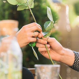 Primo piano della mano della coppia che tiene il gambo di rosa verde