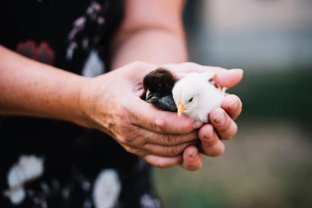 Primo piano della mano della donna che cattura due pulcini