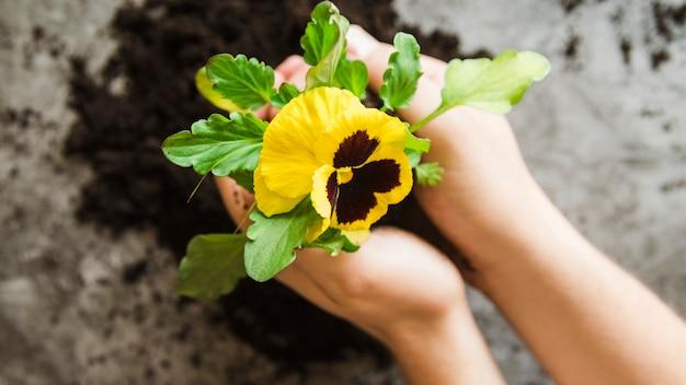 Primo piano della mano di una donna che tiene in pansy la pianta del fiore in mano