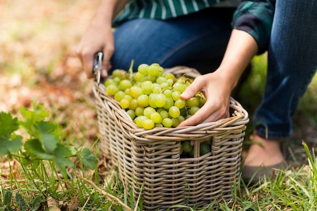 Primo piano della mietitrice della donna con un cestino dell'uva