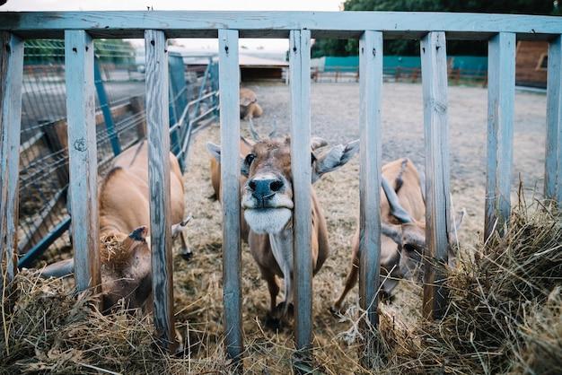 Primo piano della mucca che pasce fieno nel granaio