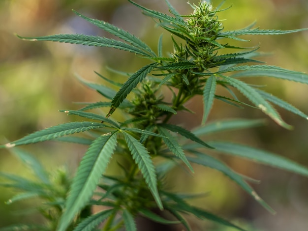 Primo piano della parte superiore della pianta di cannabis.