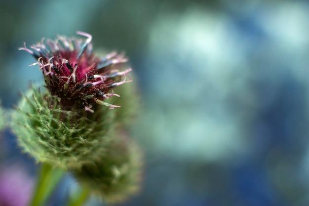 Primo piano della pianta arctium lappa, bardana maggiore, bardana commestibile