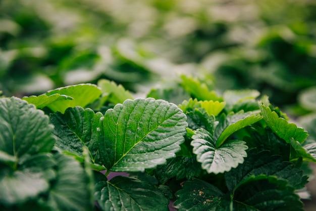 Primo piano della pianta delle foglie verdi