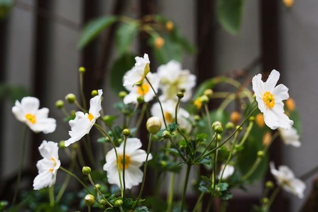 Primo piano della pianta di fioritura di cosmos bipinnatus
