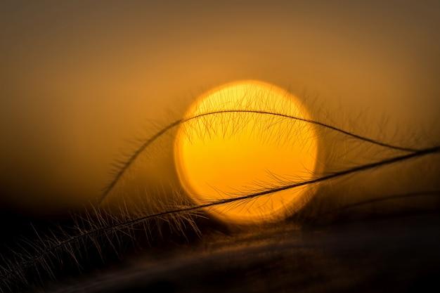 Primo piano della pianta stipa nella meravigliosa luce del tramonto