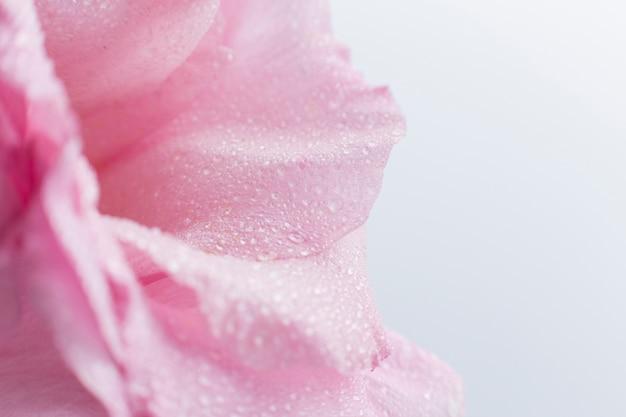Primo piano della rosa di rosa con fondo vago