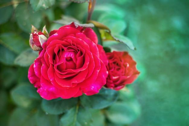 Primo piano della rosa rossa su un fondo confuso verde. rose per un compleanno o altre vacanze