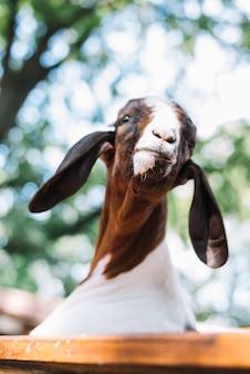 Primo piano della testa di una capra