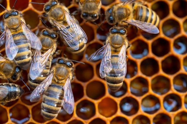 Primo piano delle api di lavoro sui favi. immagine di apicoltura e produzione di miele