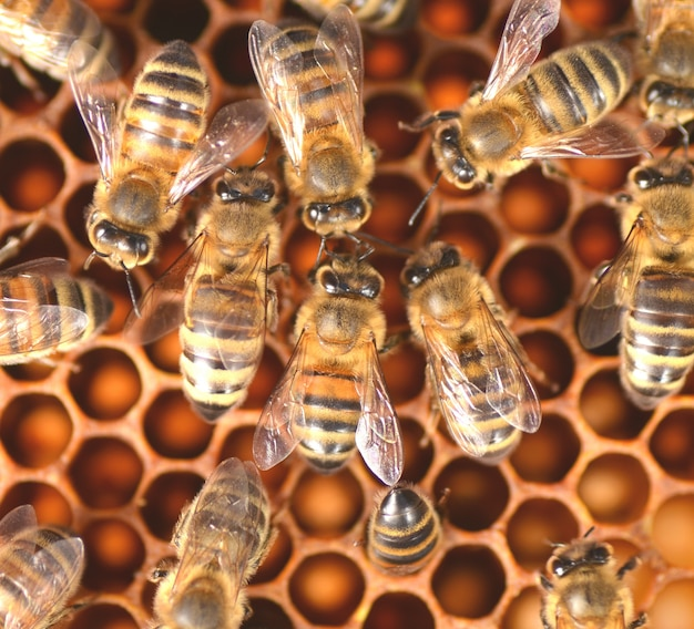 Primo piano delle api sul favo in alveare