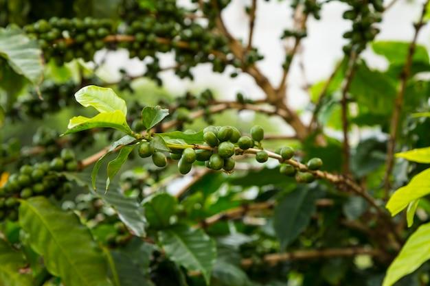 Primo piano delle ciliege di caffè non mature che crescono sull'albero