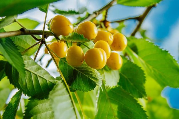 Primo piano delle ciliege rosse gialle dolci mature sul ramo