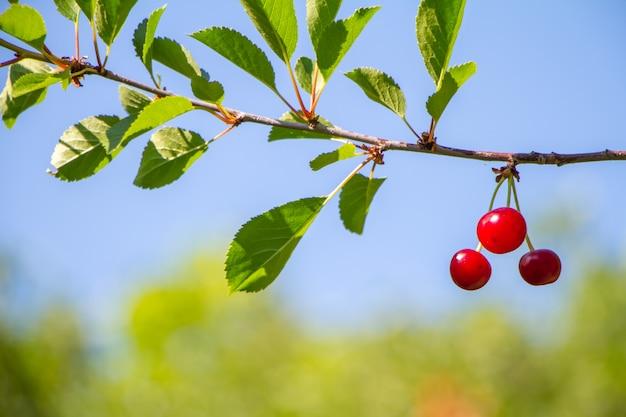Primo piano delle ciliege rosse mature su un ramo più della foresta e del cielo blu, fuoco selettivo