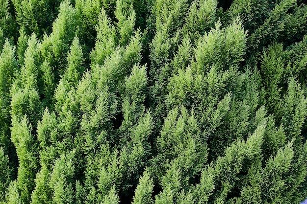 Primo piano delle foglie di natale verdi degli alberi del thuja sull'orizzontale verde