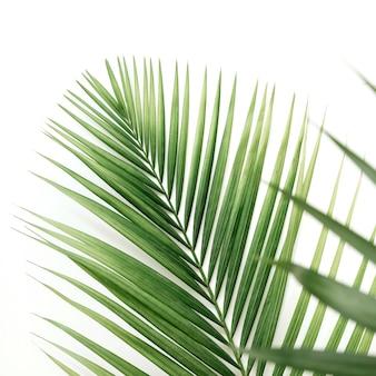 Primo piano delle foglie di palma sul contesto bianco