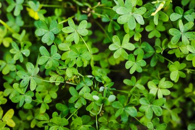 Primo piano delle foglie verdi del ranuncolo delle bermude