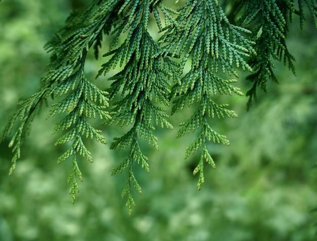 Primo piano delle foglie verdi del thuja.