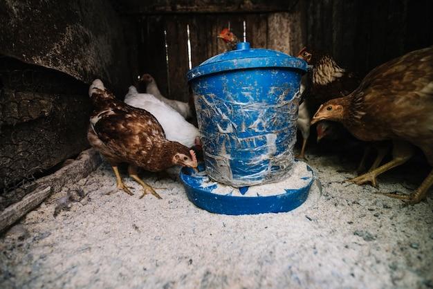 Primo piano delle galline che si alimentano nell'alimentatore del pollame sull'azienda agricola