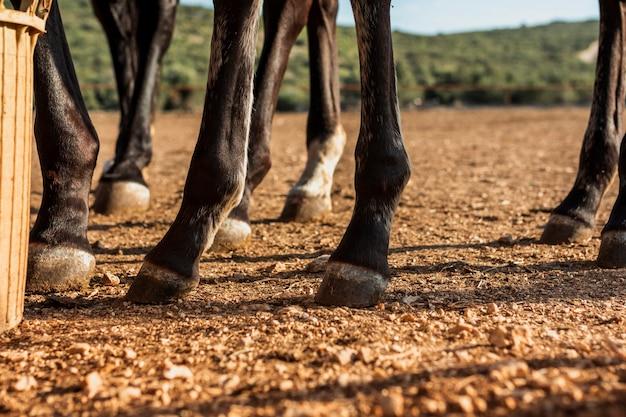 Primo piano delle gambe di uno stallone di cavalli