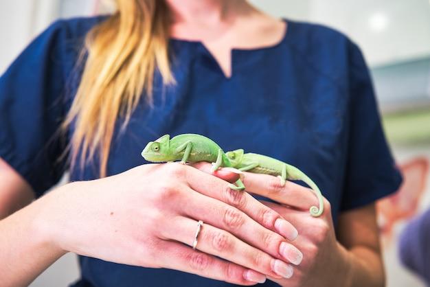 Primo piano delle mani di un veterinario con due piccoli camaleonti verdi e anello di fidanzamento.