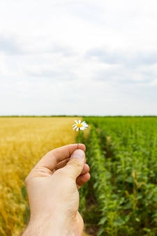 Primo piano delle mani e un fiore della margherita, un campo di girasoli e grano
