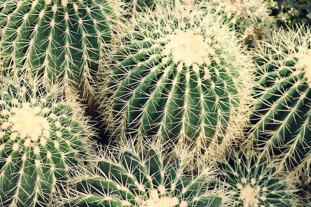 Primo piano delle piante di cactus