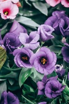 Primo piano delle piante di fioritura di lisianthus o di eustoma in giardino