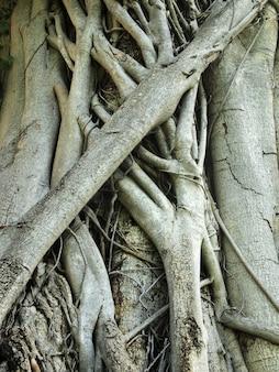 Primo piano delle radici del tronco di albero del banyan con le sculture