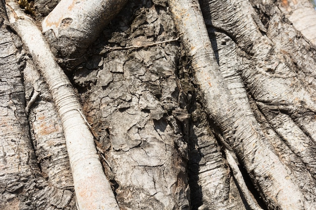 Primo piano delle radici dell'albero di banyan