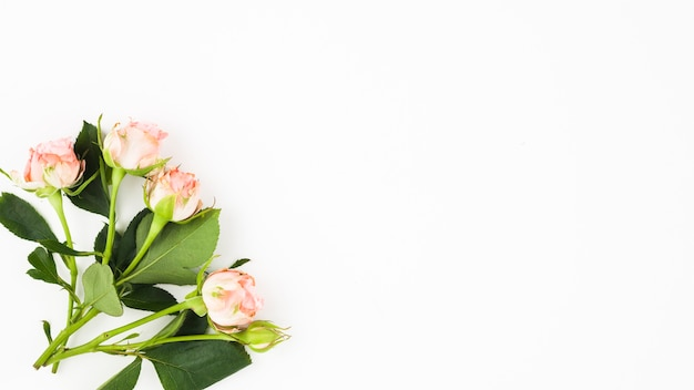 Primo piano delle rose con le foglie sull'angolo di fondo bianco