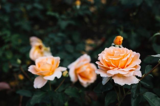 Primo piano delle rose di fioritura beautful